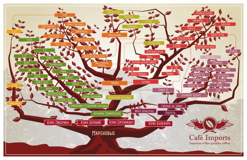 Ботанические виды кофейного дерева